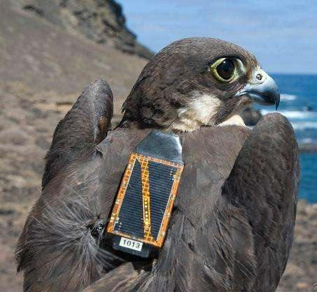 A raptor with an electronics backpack. (Source: STMicroelectronics)